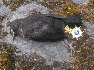 Swedish blackbird suicide 6 june 2015